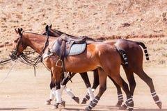 Polo Horse Ponies Saddles Fotografie Stock Libere da Diritti