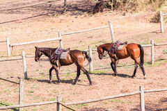 Polo Horse Ponies Saddles Royalty Free Stock Photography