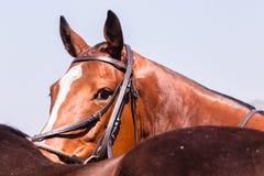 Polo Horse Pony Portrait arkivbild