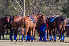 Polo Horses Ponies Groom Immagini Stock
