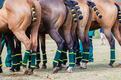 Polo Horses Ponies Yellow Tails. Close-up rear photo image of horse ponies dress tails ribbon bands and feet legs  protection padding make up for polo game Stock Images