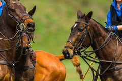 Polo Ponies Players Action Royaltyfria Bilder