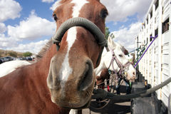 Polo Pony Stock Photos