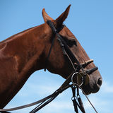Polo Pony. Head Shot of a Polo Pony showing the Tack Royalty Free Stock Images
