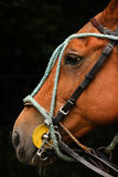 Polo wyposażenie Końska głowa z uzdami zdjęcie stock