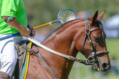 Polocrosse Horse Player Royalty Free Stock Photography