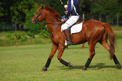 Rider horseback on polocrosse pony Stock Photography