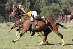 Polocrosse spelare som upp väljer bollen på en galopp Royaltyfri Fotografi