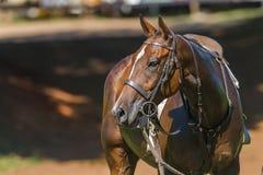 Polocrossepaard Royalty-vrije Stock Afbeeldingen