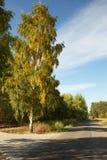 polonia Alto árbol de abedul, creciendo cerca del camino vertical Foto de archivo