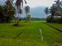 Polonnaruwa Шри-Ланка - рисовые поля стоковое изображение rf