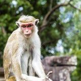 Polonnaruwa małpa Zdjęcia Stock
