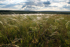 polowa piórkowa trawy. Zdjęcia Stock