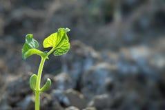 polowe młodych roślin Obraz Stock