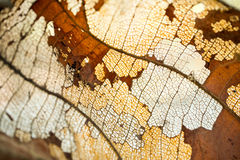 Polpa de madeira das folhas secadas Fotografia de Stock Royalty Free