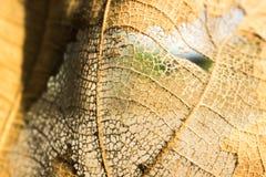 Polpa de madeira das folhas secadas Fotos de Stock