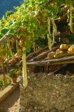 Polpa e abóboras em videiras em Ravello, Itália Fotografia de Stock Royalty Free