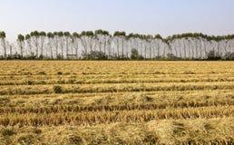 Polplars und Reisfeld (Nord-Italien) Stockfotografie