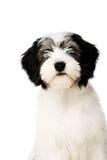 Polsk låglandfårhund som isoleras på en vit bakgrund royaltyfri bild