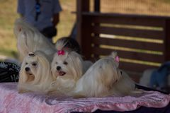 Polska KoziegÅ för hundshow 'owy 19,08,2018 royaltyfri bild