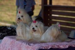Polska KoziegÅ för hundshow 'owy 19,08,2018 royaltyfria bilder