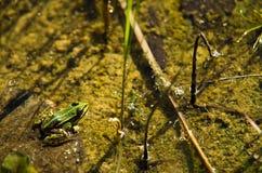 Polskie fauny: mała zielona żaba w stawie obrazy royalty free