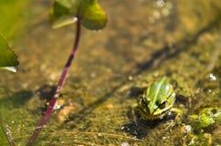 Polskie fauny: mała zielona żaba w stawie zdjęcia stock