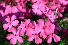 Polsterphlox布兰妮常青地被植物桃红色花 库存图片