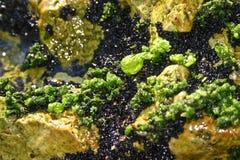 Poluição com algas Foto de Stock Royalty Free