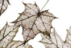 polularmechanics干燥老槭树背景离开与雕刻 免版税库存照片