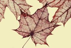 polularmechanics干燥老红色叶子槭树背景与雕刻 图库摄影