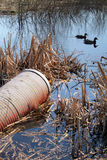 Polution sewage. Pollution from sewage drain into lake or river with ducks Royalty Free Stock Photos