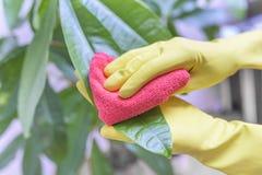 Polvere della strofinata dalle piante da appartamento Immagini Stock