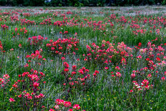Polvilhar alaranjado brilhante de Wildflowers de Painbrush do indiano em um prado da borda da estrada em Oklahoma. imagem de stock