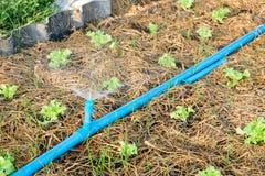 Polvilhe a água no carvalho verde no jardim Imagens de Stock