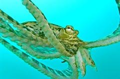 Polvo da natação Imagem de Stock Royalty Free
