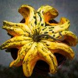 Polvo do Gourd Fotografia de Stock
