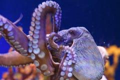 Polvo em um aquário marinho fotos de stock