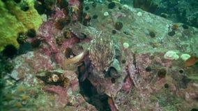 Polvo grande no fundo do mar de pedra à procura do alimento video estoque