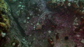 Polvo grande no fundo do mar de pedra à procura do alimento vídeos de arquivo