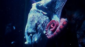 Polvo no aqu?rio Polvo vermelho grande na ?gua escura wildlife filme