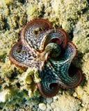 Polvo no mar Imagens de Stock Royalty Free