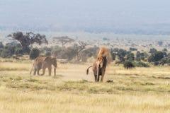Polvoreda del elefante en el fragor de Amboseli fotografía de archivo
