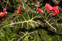 Poly elephant ear plants surrounded by red Cyclamen flower