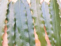 Polyalthia longifolia leaf Stock Image