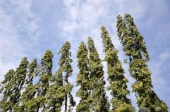 Polyalthia longifolia tree in nature garden Royalty Free Stock Photo