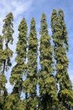 Polyalthia longifolia tree in nature garden Royalty Free Stock Photos