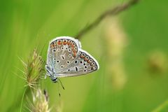 Small Blue Water Butterfly and Green Background. Polyammatus icarus butterfly with small small eyes. Green background and thin weed waiting to be put on. Elegant royalty free stock images