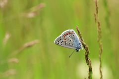 Small Blue Water Butterfly and Green Background. Polyammatus icarus butterfly with small small eyes. Green background and thin weed waiting to be put on. Elegant stock photos