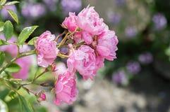 ` Polyantha розовое Fairy ` Малая роза пинка сада коттеджа Стоковая Фотография RF